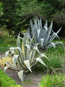 Madrid - Real Jardin Botanico Garden - Agave