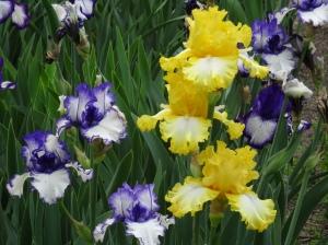Madrid - Real Jardin Botanico - Iris