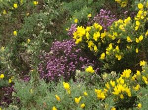 Spanish Gorse Bush (yellow)